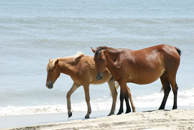 Corolla horses Try My Nuts Outer Banks